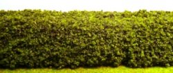 Green Hedge, Small