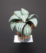 Stripe Leaf Plant in Rooster Can Pot