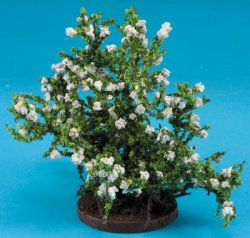 Small Rose Bush, White